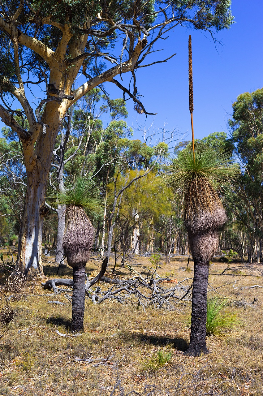 grass-tree-york-western-australia
