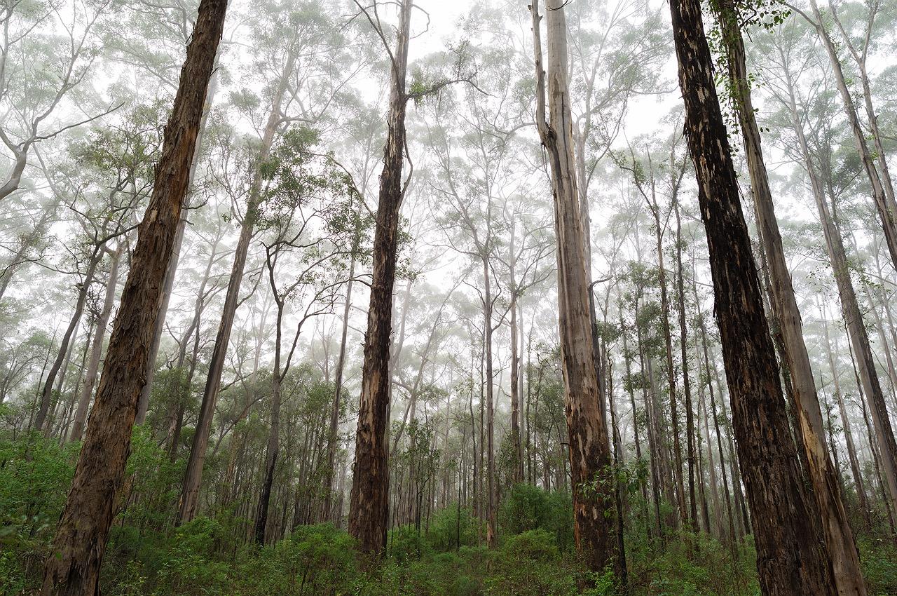 pemberton-karri-forest