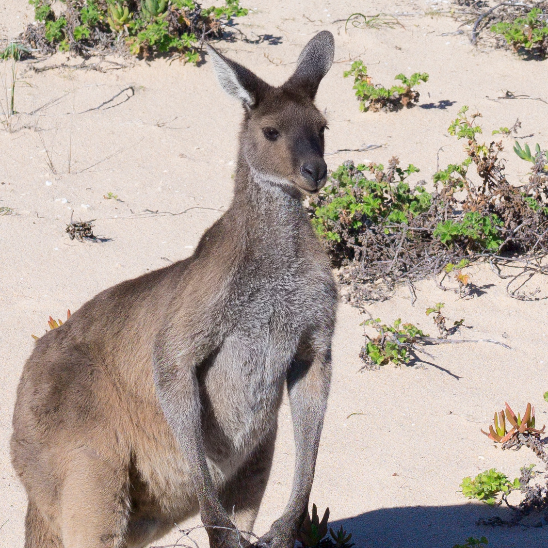 leica_kangaroo_crop
