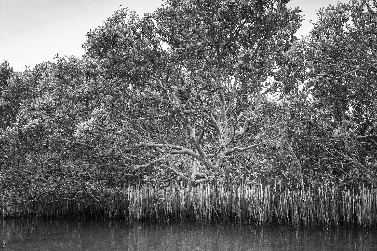 Mangroves of Bunbury