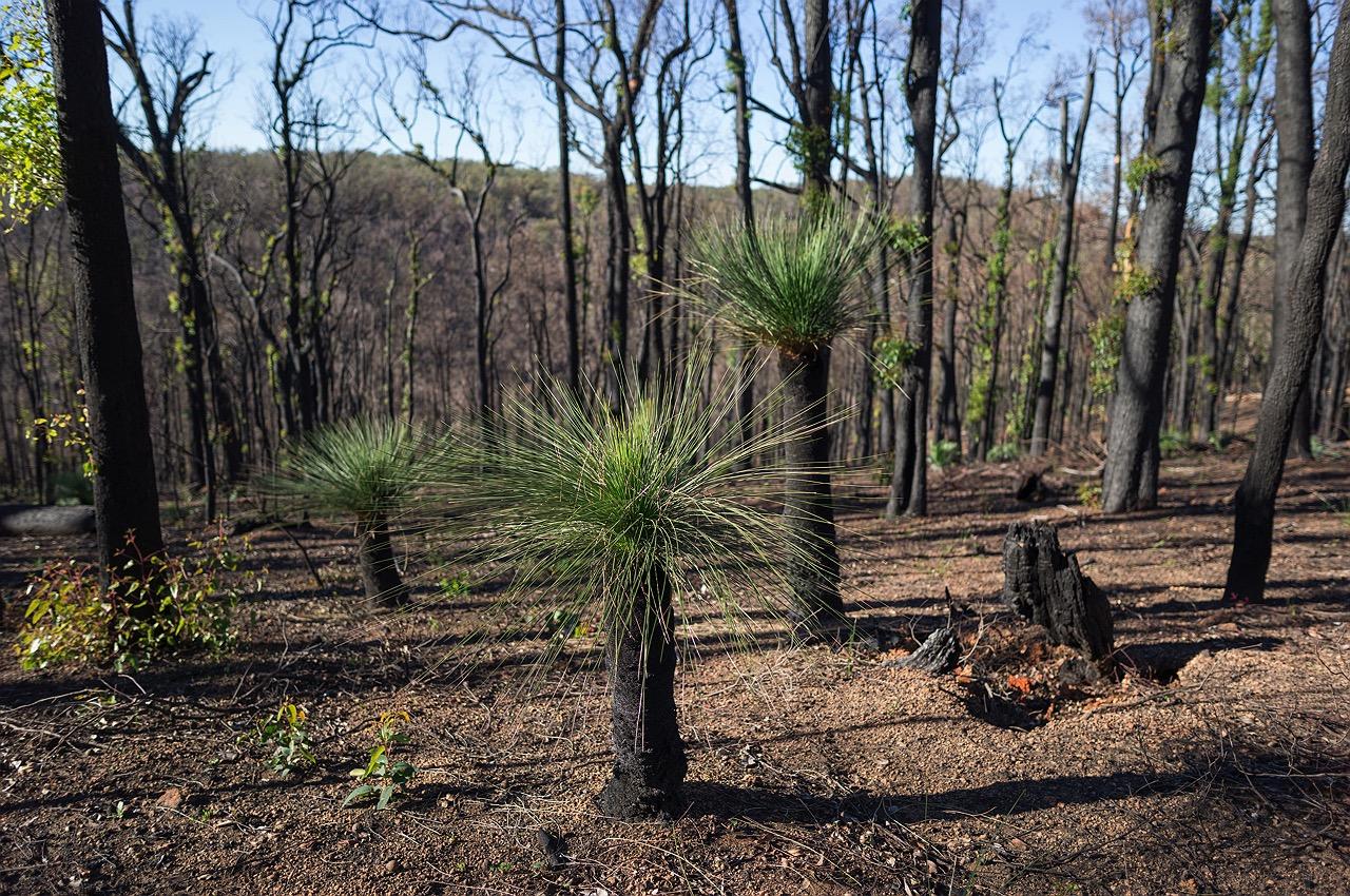 waroona-bushfire-grass-trees