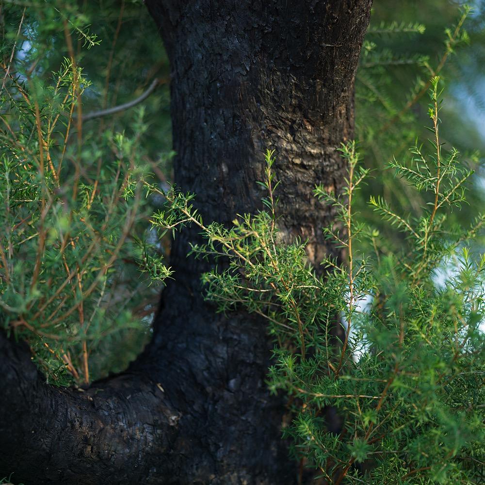 waroona-bushfire-regrowth