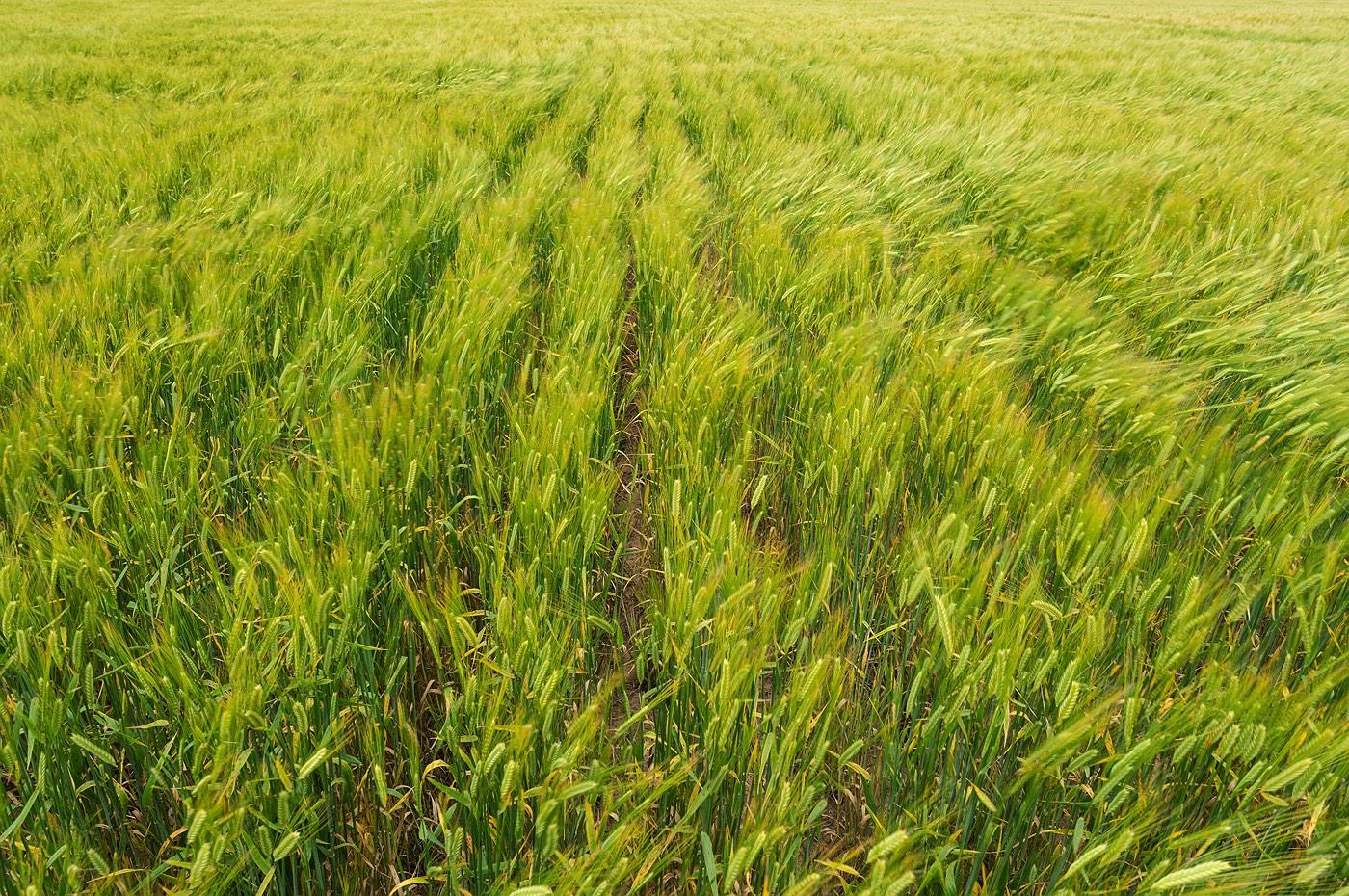 03_wyalkatchem_barley-farming_western_australia_rob-dose