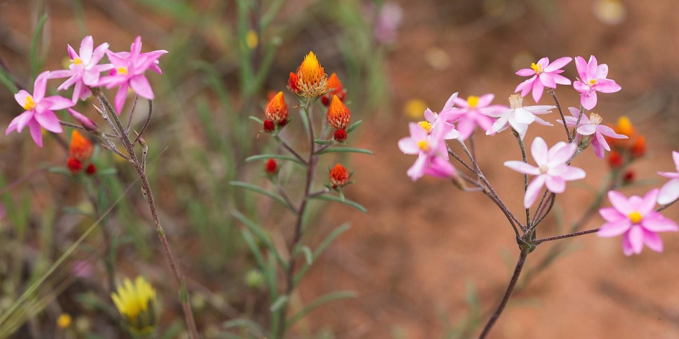04_wyalkatchem_wildflowers_western_australia_rob-dose