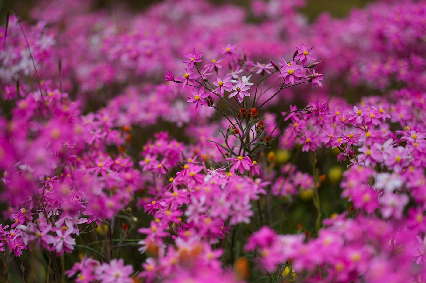 05_wyalkatchem_wildflowers_western_australia_rob-dose