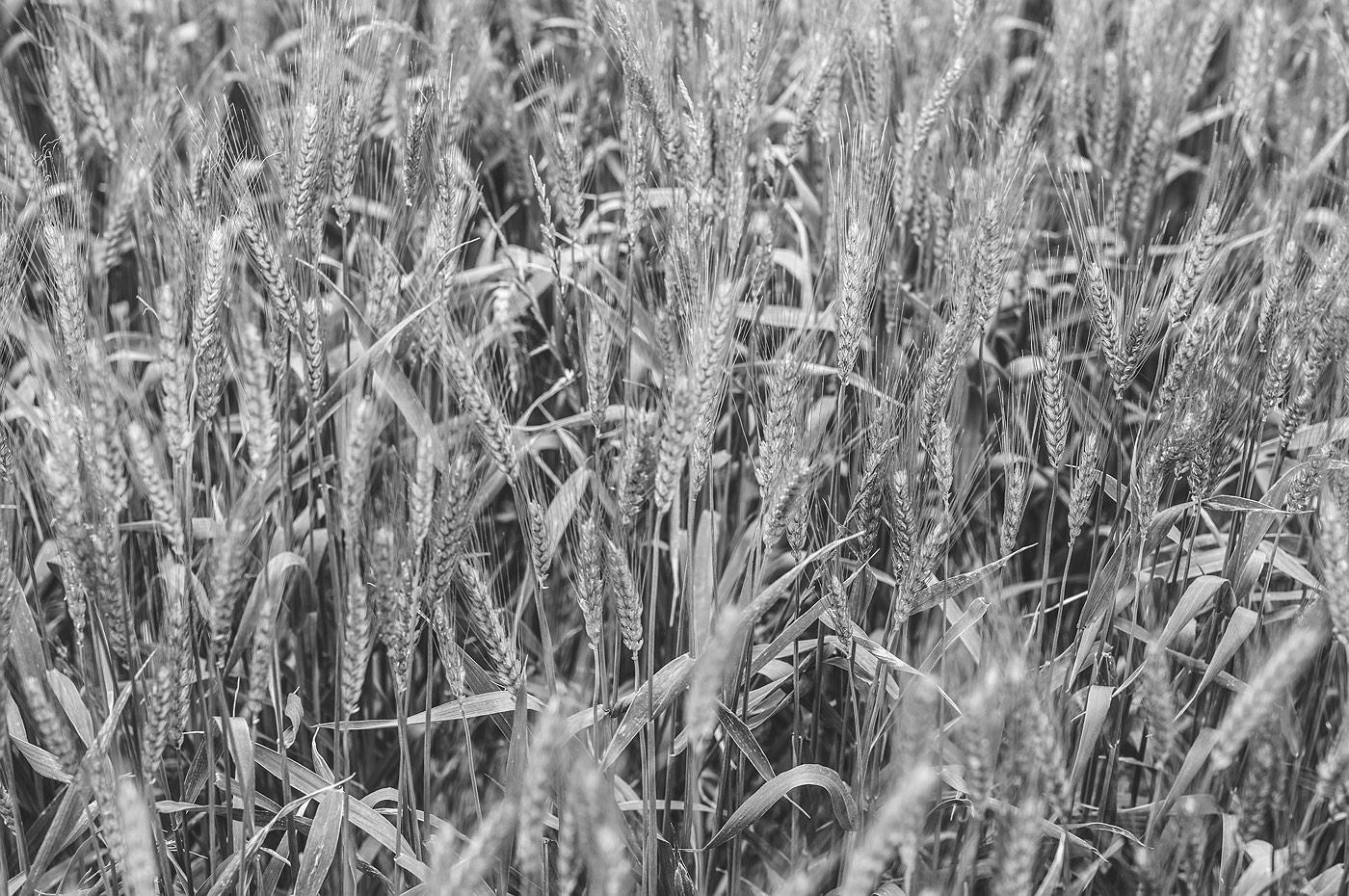 08_wyalkatchem_farming_western_australia_rob-dose
