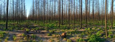 1_waroona-bush-fire-pine-forest-desolation