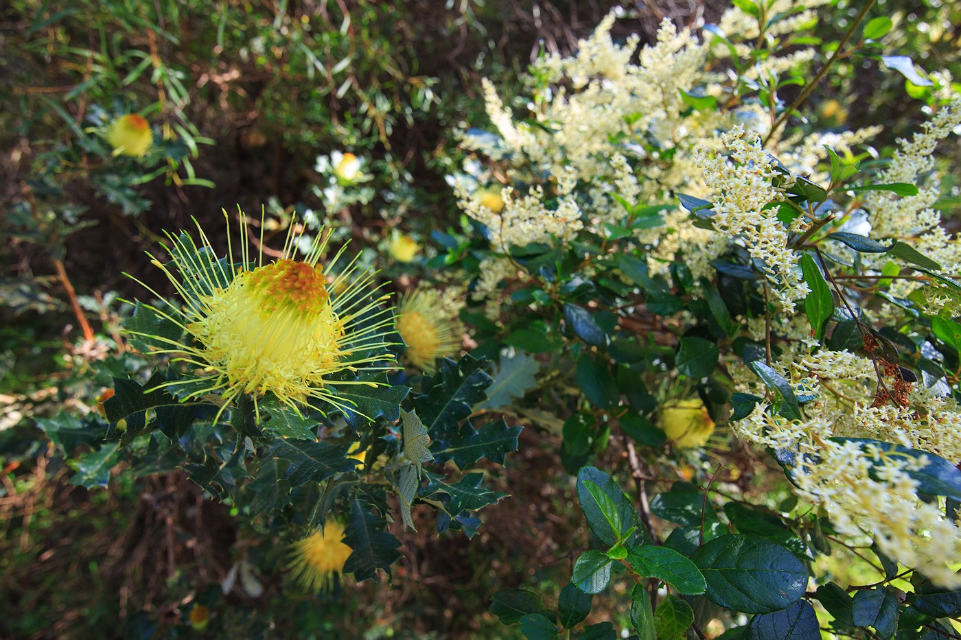 australian-wattle-wildflowers