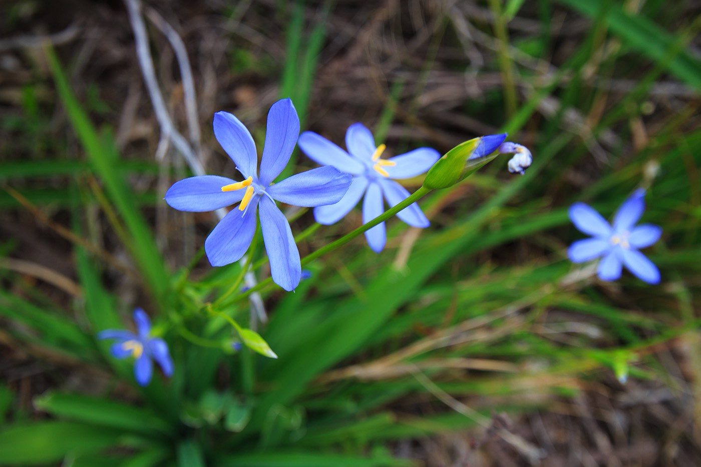 blue-wildflowers-wa