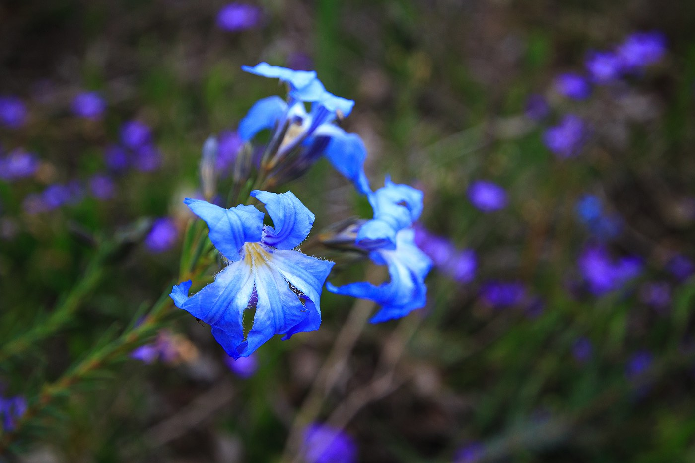 blue-wildflowers