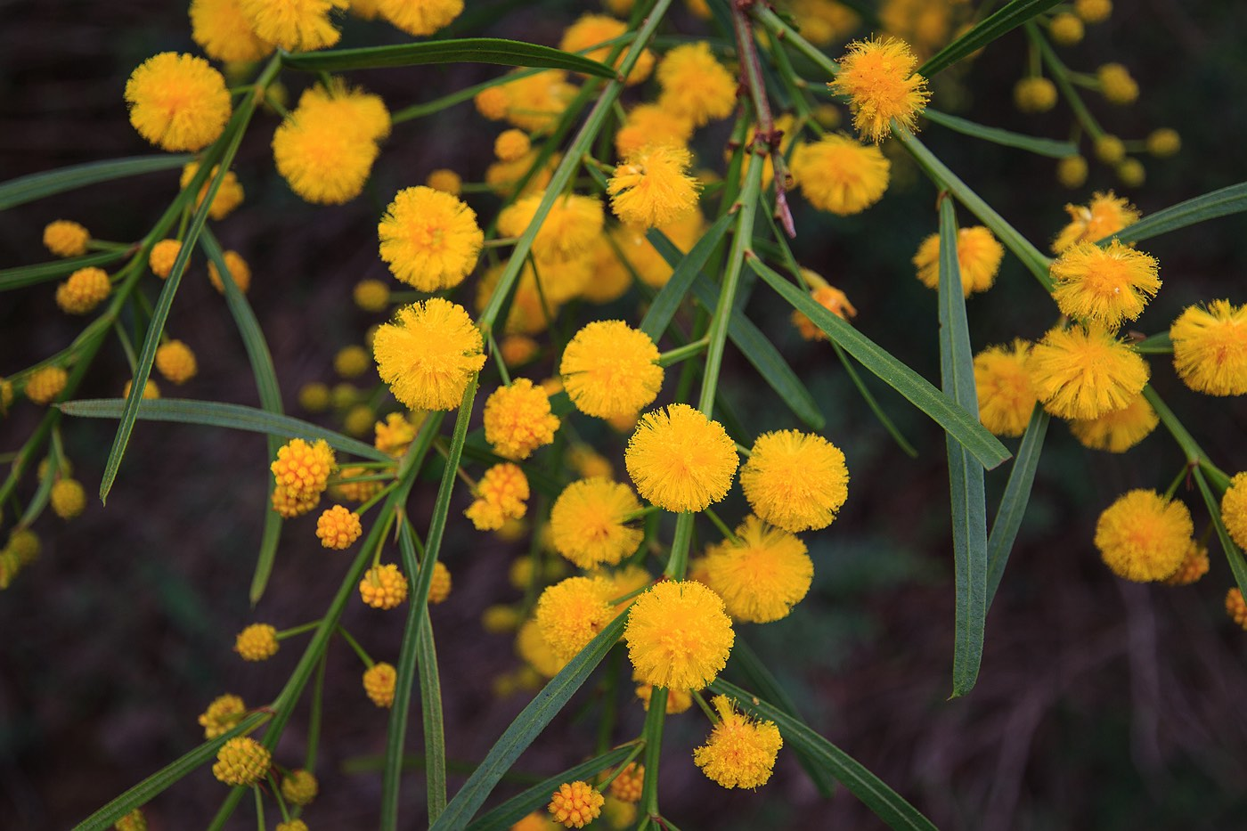 wattle-flower-yellow