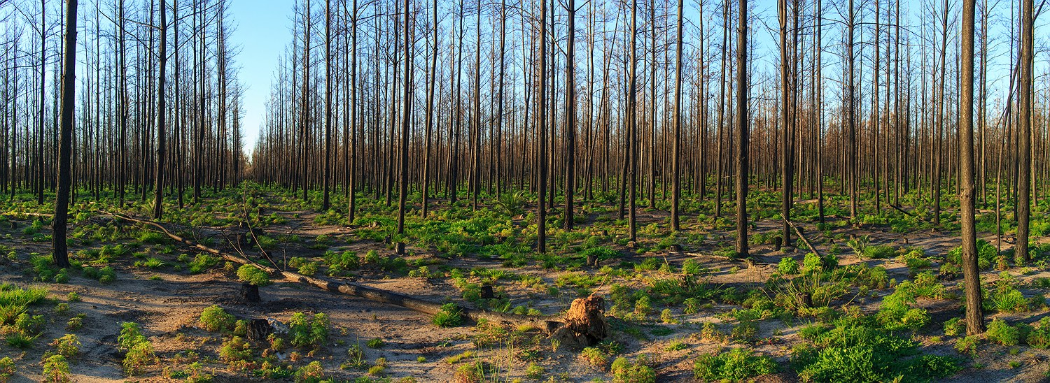 The desolation of a pine forest